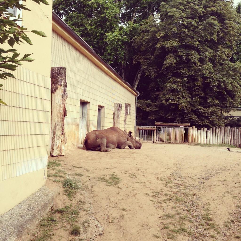 Zoo-Frankurt-Nashorn